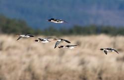 Merganser_flock_flight_1500