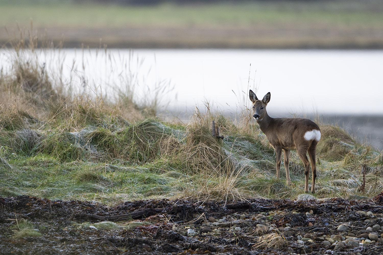 Deer_pose_1500