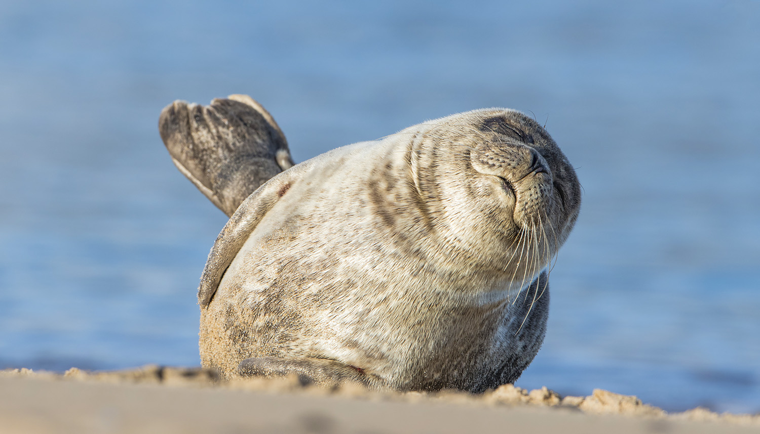 Sleepy_Seal_1500