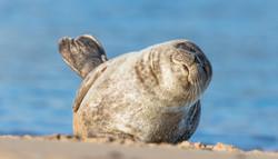 Sleepy_Seal_1500