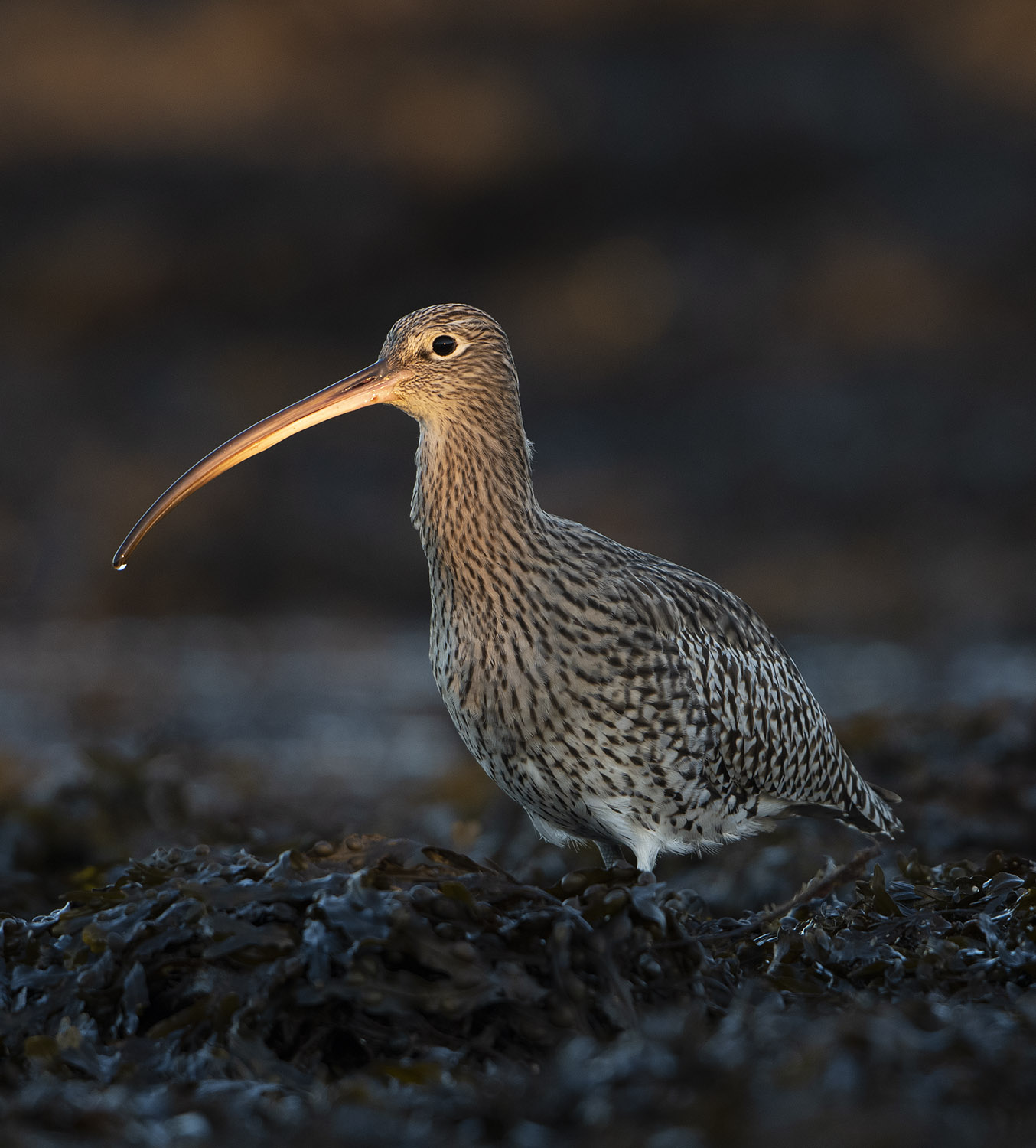 Curlew_portrait_1500