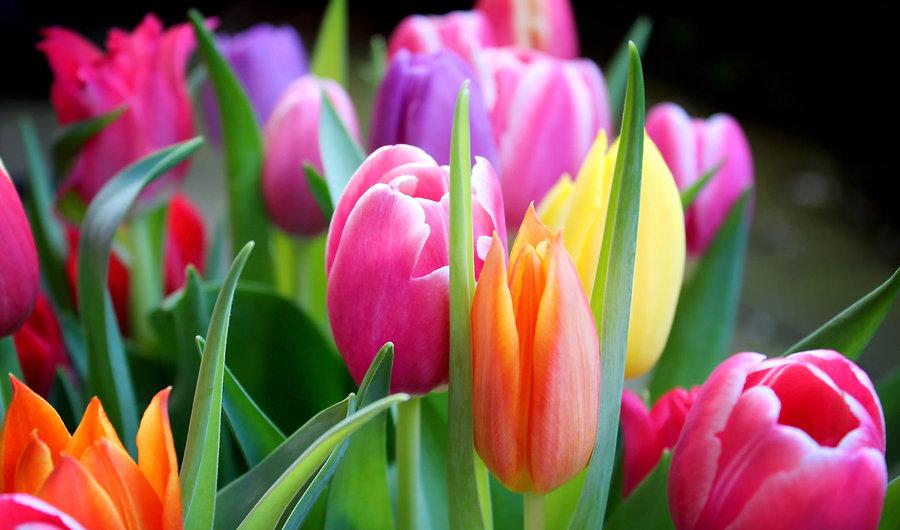tulpen-strauss.jpg