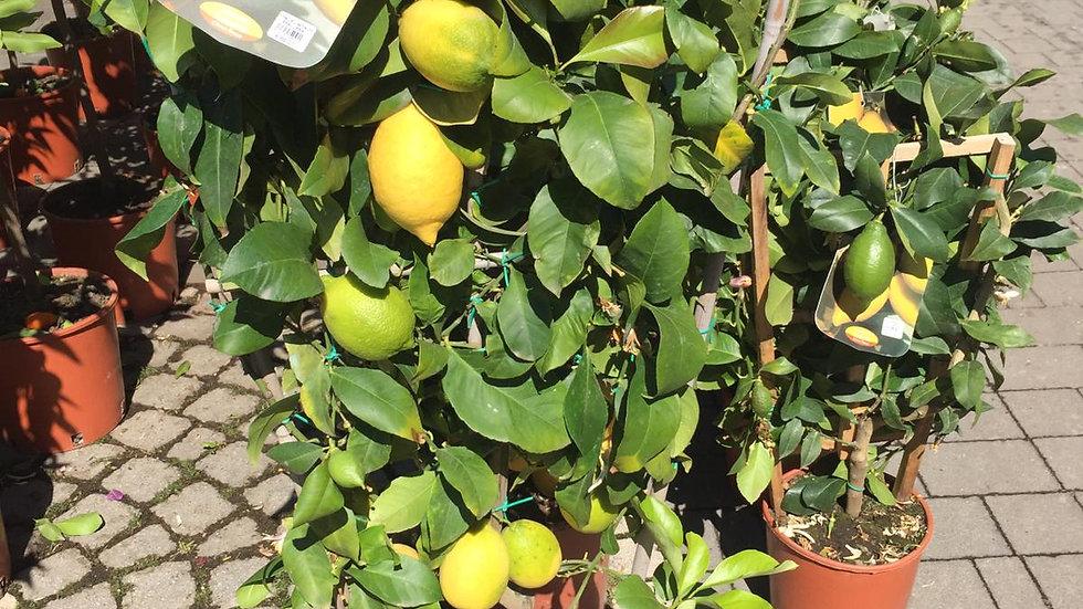 Pianta da frutto - Limone spalletta h 120