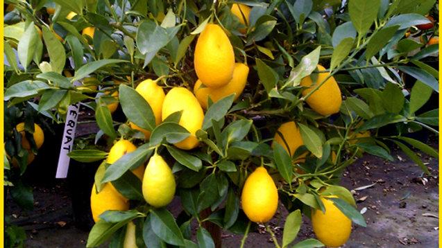 Pianta da frutto - Limequat/Citrofortunella floridana h 80
