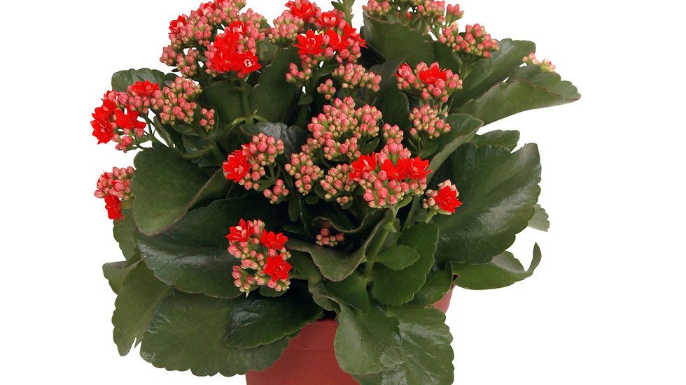 Piante da interno - KALANCHOE vs.10