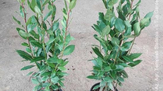 Piante da esterno - LAURUS NOBILIS VS 20 H 125-150