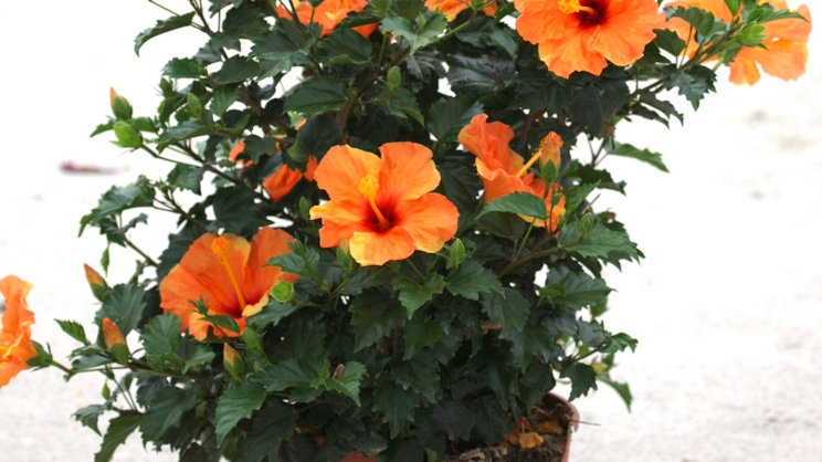 Piante da esterno - Hibiscus v 14