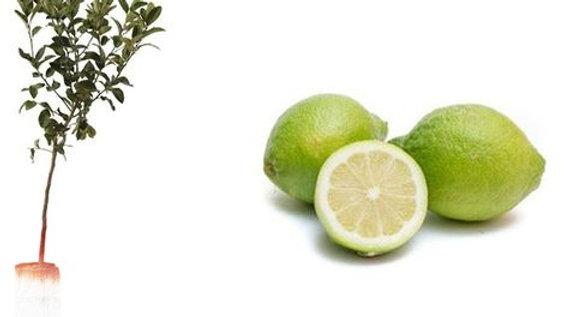 Pianta da frutto - Lime H 140