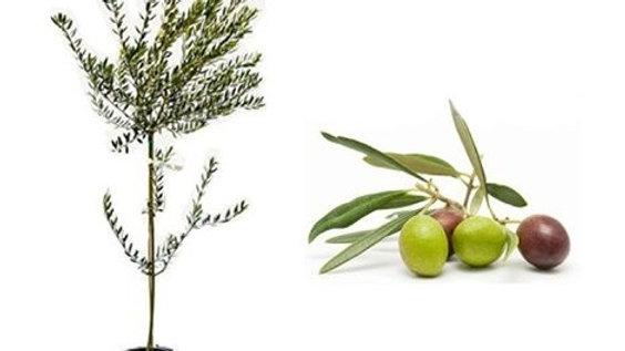 Pianta da frutto - Ulivo fitocella