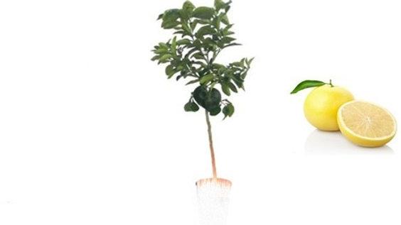 Pianta da frutto - Pompelmo h80
