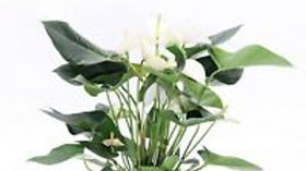ANTHURIUM BIANCO VS.17