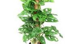 PHILODENDRON H 100