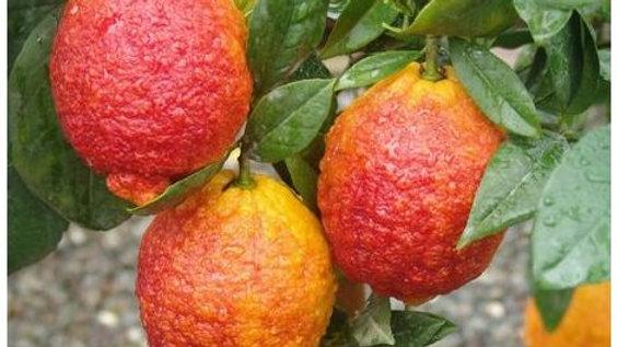 Pianta da frutto -Limone rosso h80/100