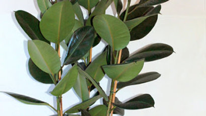 Piante da interno - FICUS ROBUSTA H 120 VS 28