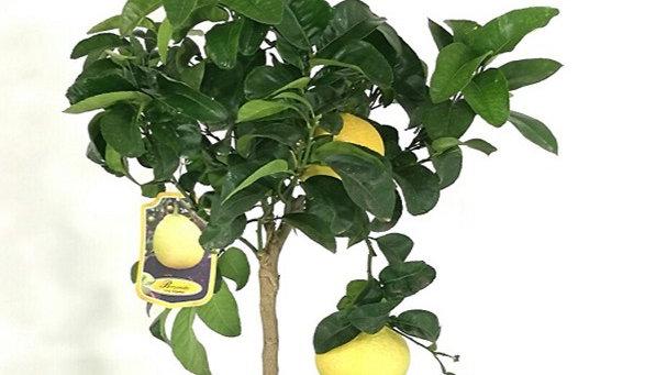 Pianta da frutto - Bergamotto  H 170