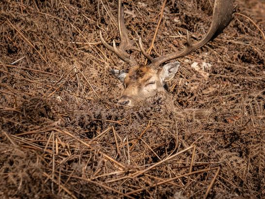 Deer Spotting at Knole