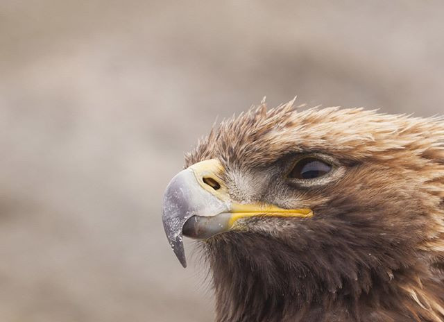 Photos from Mongolia (eagles)