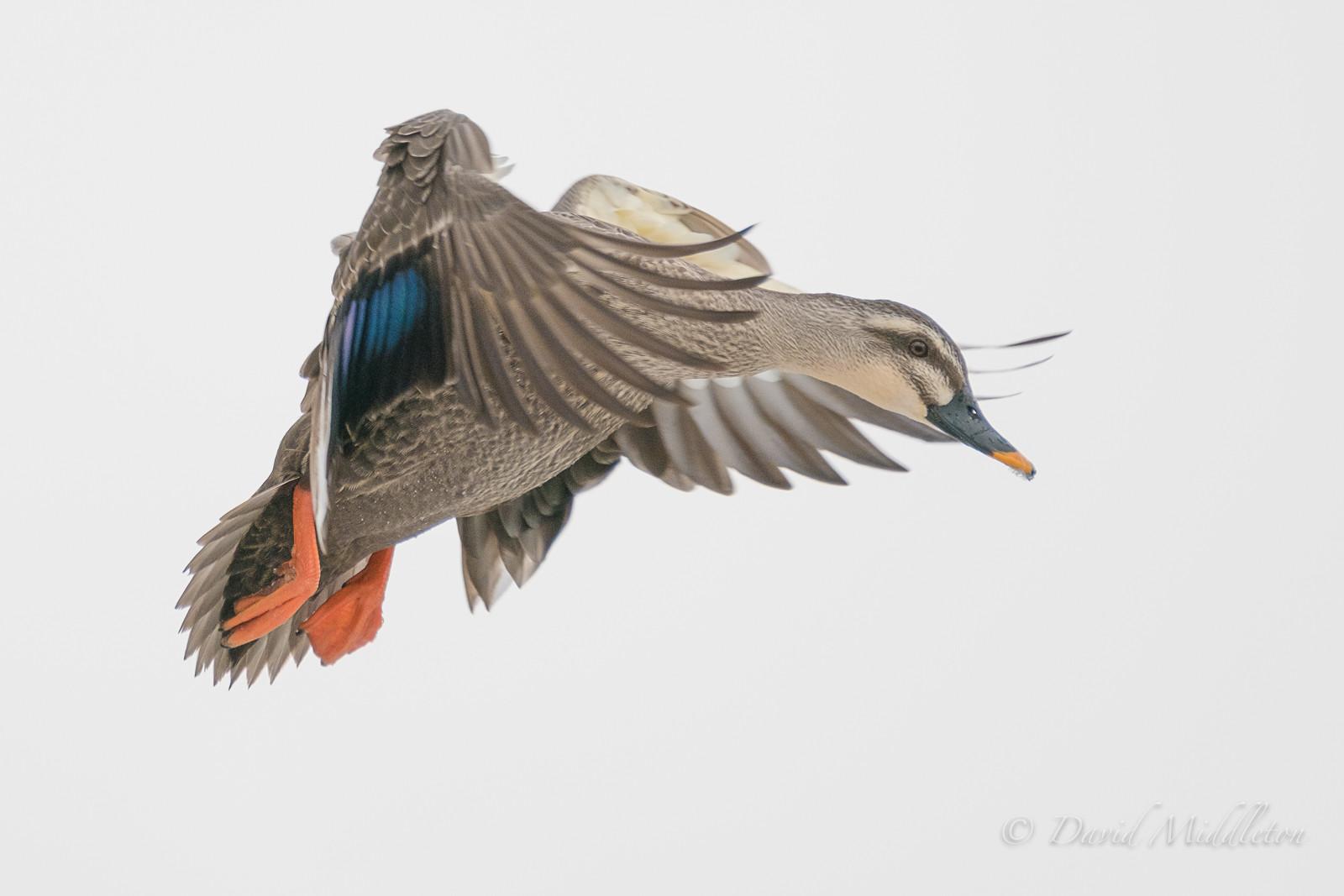 Spot‐billed Duck