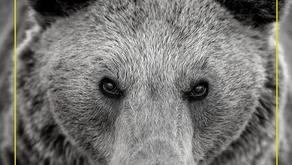 THE TEACHINGS OF THE BEAR