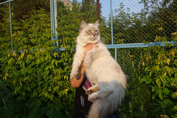 Котята Екатеринбург питомник Psholka
