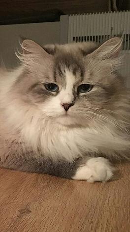 Невская маскарадная кошка питомник Psholka
