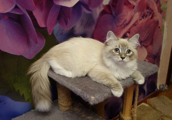 Невская кошка маскарадная питомник Psholka