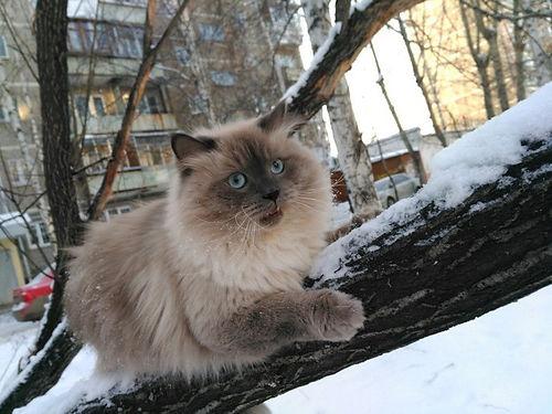 """Невский маскарадный кот питомник """"Psholka"""""""
