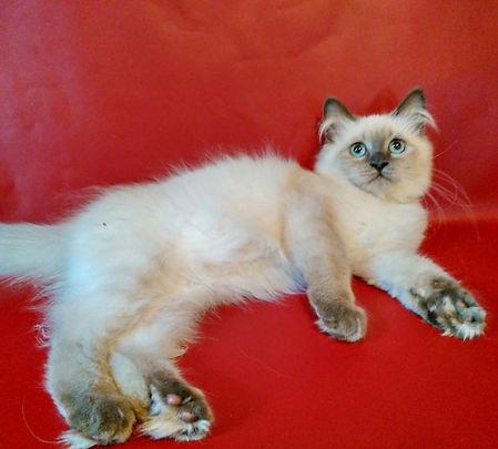 Psholka`s Anton питомник невских маскарадных кошек