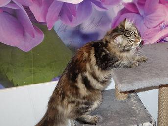 сибирская кошка питомник Psholka