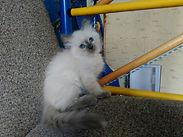 Невский котёнок питомник Psholka