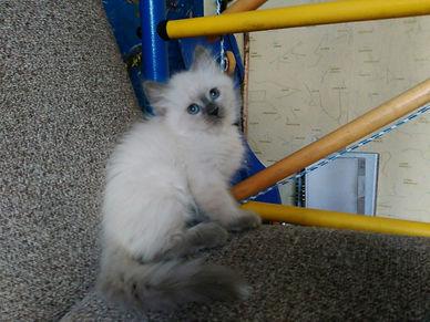 Невский маскарадный котёнок питомник Psholka