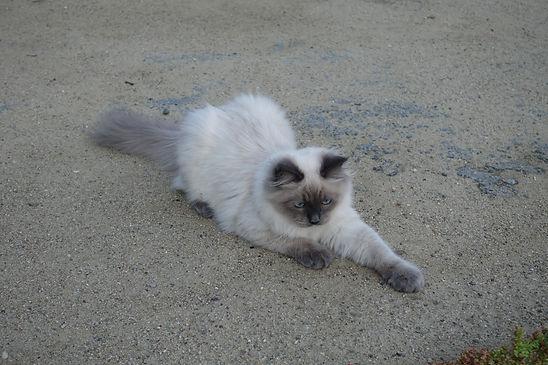 Сибирский котёнок питомник Psholka