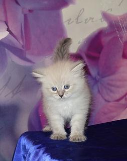 Сибирский котёнок!