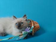 Котёнок невский питомник Psholka