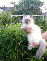 Котёнок невский маскарадный питомник Psholka