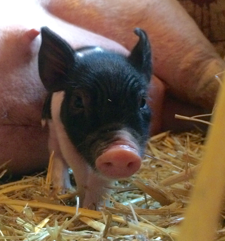 "Pearl's 2016 piglet ""Heart"""