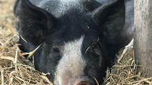 Redhaven FarmshasBerkshire boys thatare ready to join your farm! Tippingthe scales at over 100 l