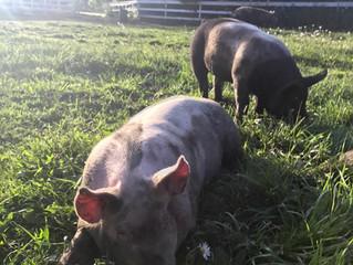 Berkshire Yorkshire Cross Piglets