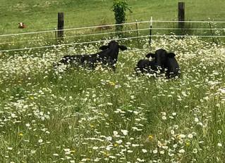 Steer in the Daisies