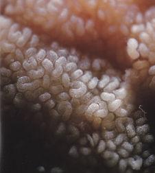Coiling Seminal Canals of testicles - NI