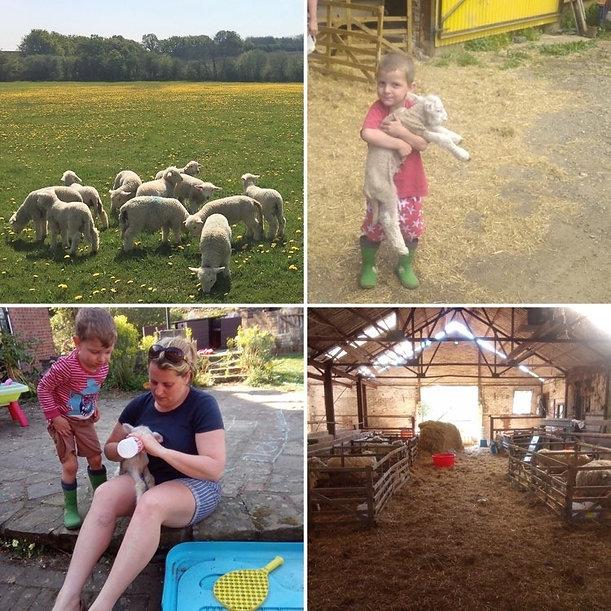 bottle feeding lambs