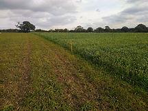 grazed cover crop