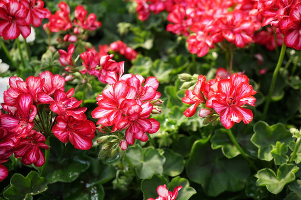 ivyleaf_geranium_annual_bhs_18.jpg