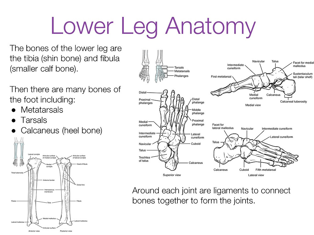 Lower leg anatomy