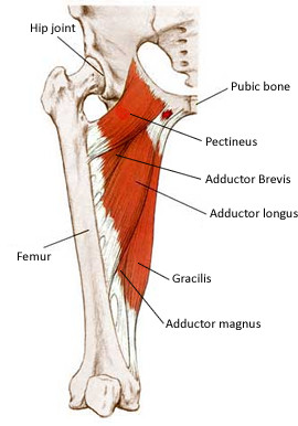 adductor anatomy