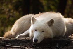 wolf-5583749