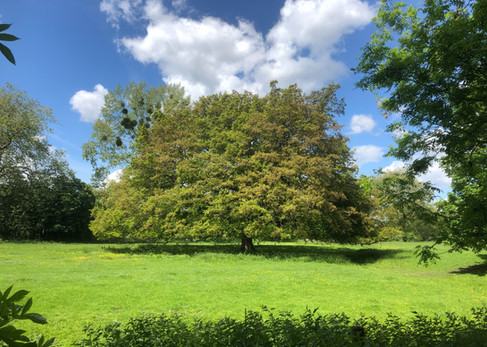The American Oak