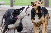 Celo en las perras