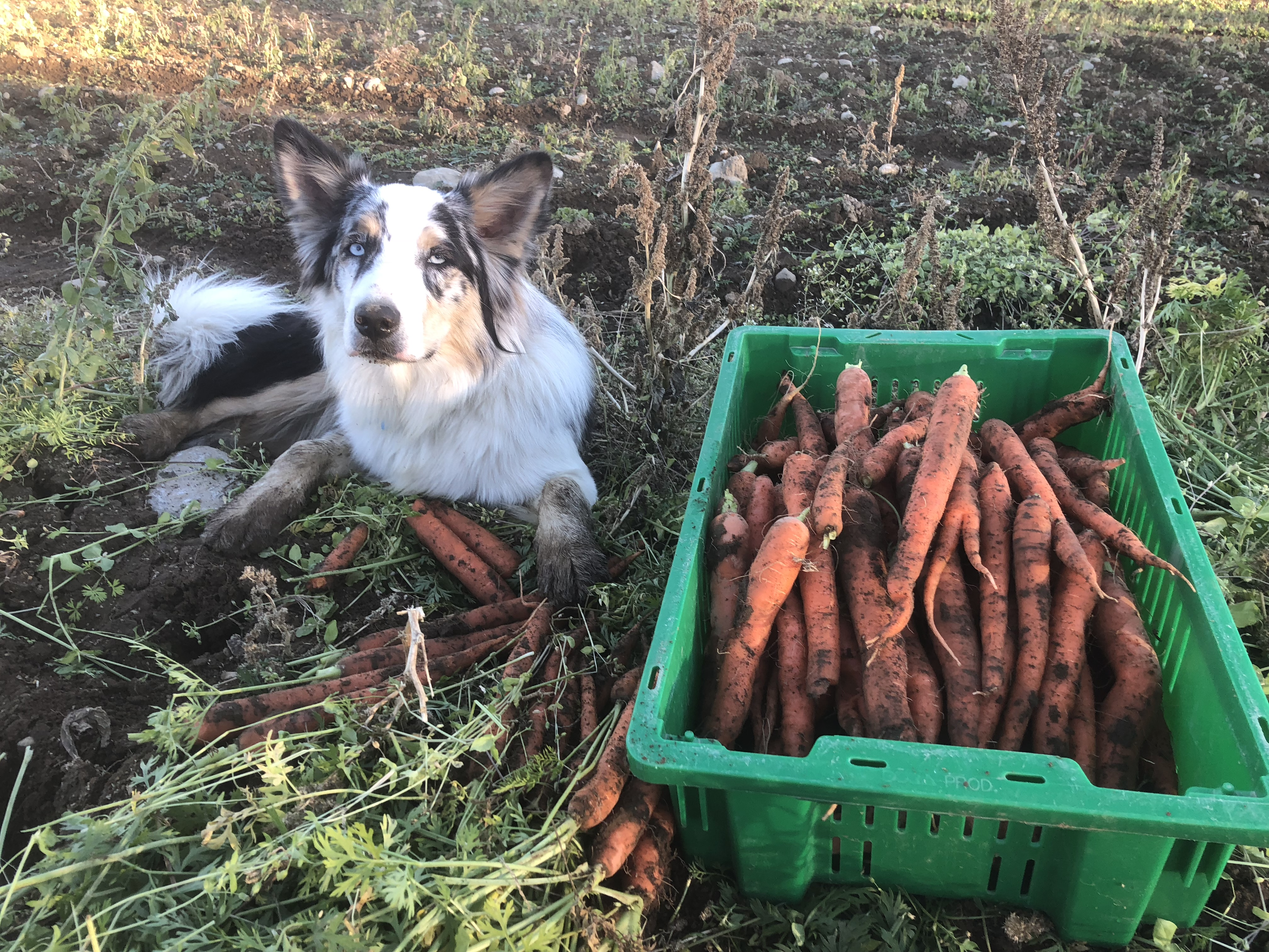 Tuck & Carrots