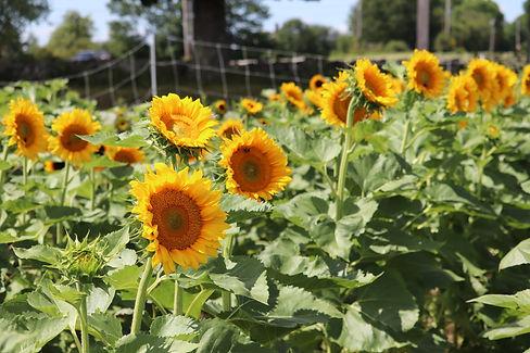 upick sunflowers.JPG